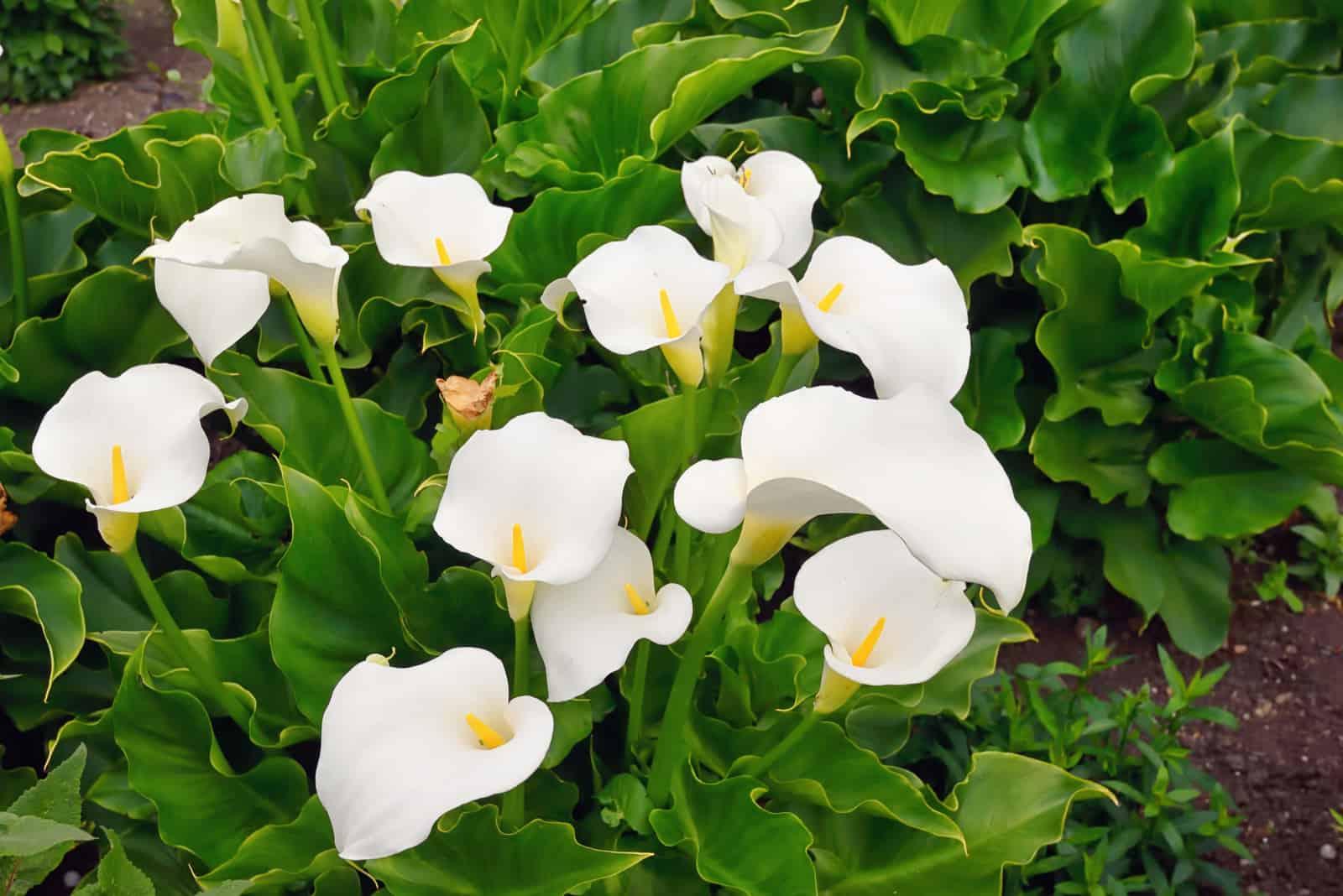 Callalilie blüht im Botanischen Garten