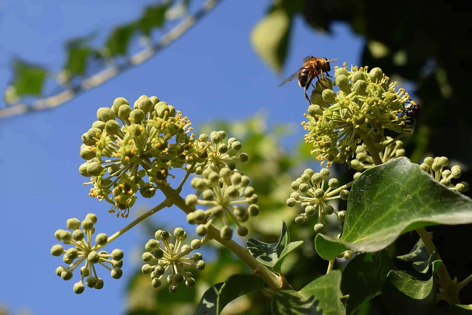 Honigbiene mit Pollen auf einer Efeublume