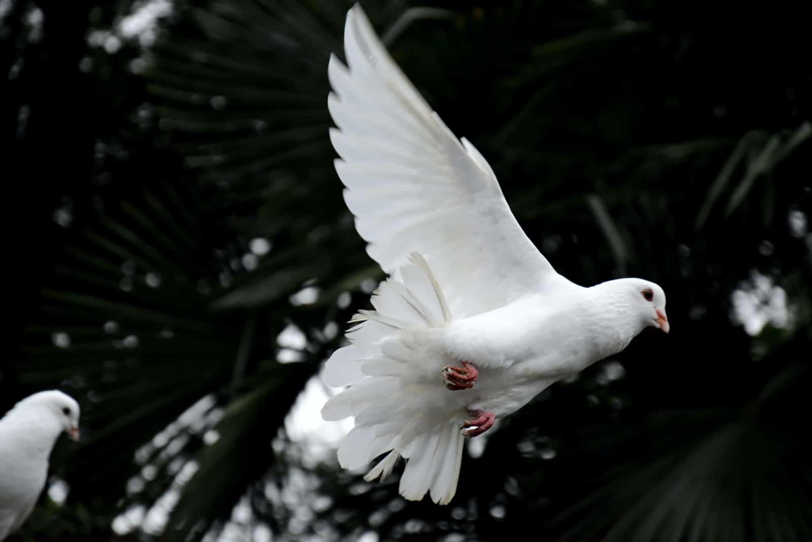 eine fliegende Taube