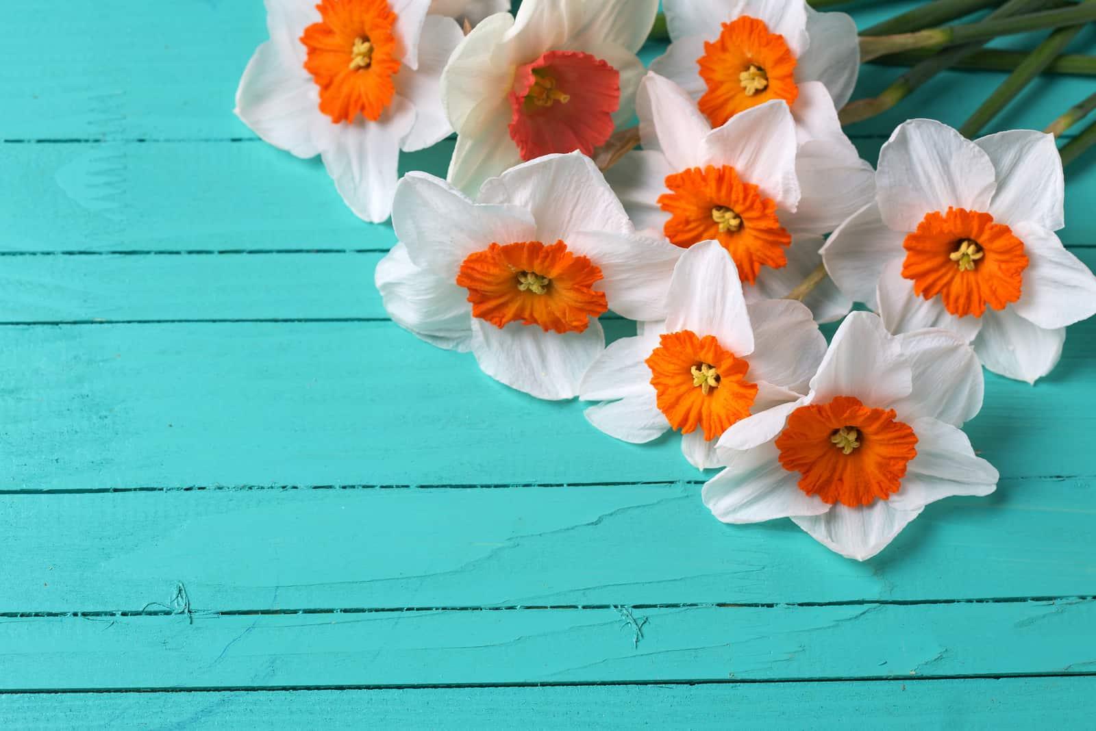 leuchtend orange Narzissenblüten auf türkis lackierten Holzbrettern