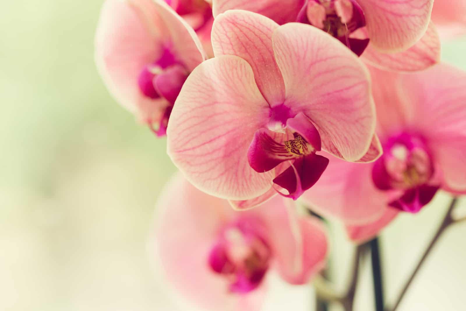 Zweig der blühenden rosa Orchidee
